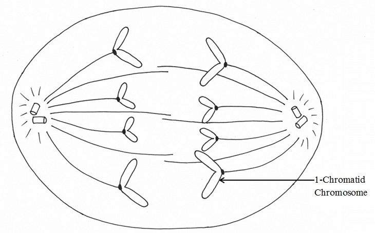 Phases of Mitosis Mitosis – Mitosis Coloring Worksheet
