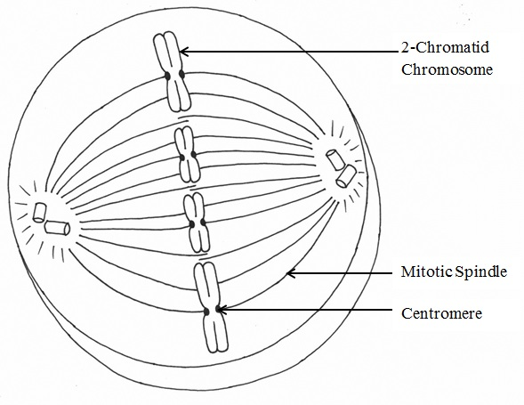 Phases of Mitosis Mitosis – Stages of Mitosis Worksheet