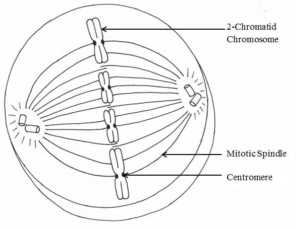 Phases of Mitosis Mitosis – Mitosis Phases Worksheet